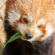 The Red Panda, Firefox or Lesser Panda — Stock Photo #22892888