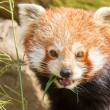 The Red Panda, Firefox or Lesser Panda — Stock Photo #22892890