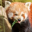 The Red Panda, Firefox or Lesser Panda — Stock Photo #22892894