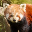 The Red Panda, Firefox or Lesser Panda — Stock Photo #22892902