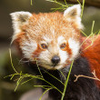 The Red Panda, Firefox or Lesser Panda - Foto Stock