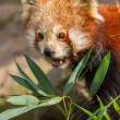 The Red Panda, Firefox or Lesser Panda - Stockfoto