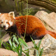 Stock Photo: Red Panda, Firefox or Lesser Panda