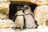 African penguins collecting nesting material — Stock Photo