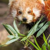 The Red Panda, Firefox or Lesser Panda — Stock Photo