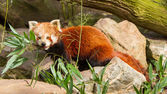 The Red Panda, Firefox or Lesser Panda — Stock Photo
