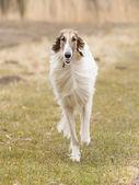 Large white dog running — Stock Photo