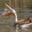 Royalty-Free Stock Photo: Young pink pelican playing