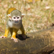 Squirrel Monkey (Saimiri boliviensis) — Stock Photo