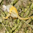 Squirrel Monkey (Saimiri boliviensis) — 图库照片