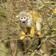 Squirrel Monkey (Saimiri boliviensis) - Stock Photo