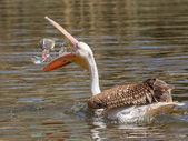 Young pink pelican playing — Stock Photo
