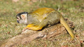 Peeing Squirrel Monkey (Saimiri boliviensis) — Stock Photo