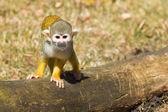 Squirrel Monkey (Saimiri boliviensis) — Stock Photo