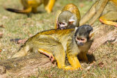 Squirrel Monkey washing another Squirrel Monkey — Stock Photo