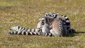 环尾狐猴 (狐猴 catta) — 图库照片