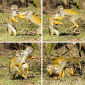 Two young Squirrel Monkeys (Saimiri boliviensis) fighting — Stock Photo