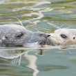 Adult and yound grey seal — Stock Photo