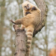 Coatimundi scratching himself — Stock Photo