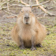 Capybara (Hydrochoerus hydrochaeris) — Stock Photo #24034349