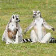 Ring-tailed lemur (Lemur catta) — Stock Photo #24034399