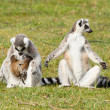 Ring-tailed lemur (Lemur catta) — Stock Photo #24034413