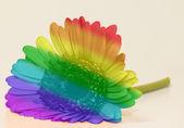 Rainbow flag gerbera — Stock Photo