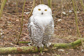 Snow owl with large claws — Stock Photo