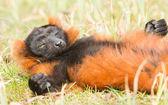 Red-bellied Lemur (Eulemur rubriventer) — Stock Photo