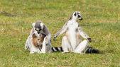 Lemure dalla coda ad anelli (lemur catta) — Foto Stock