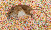 キャンディの装飾にネズミの死骸 — ストック写真
