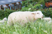 Sheep eating from the long grass — Stock Photo