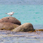 Royal Tern (Thalasseus maximus maximus) — Stock Photo
