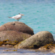 Royal Tern (Thalasseus maximus maximus) — Stock Photo