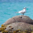 Stock Photo: Royal Tern (Thalasseus maximus maximus)