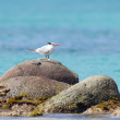 Royal Tern (Thalasseus maximus maximus) — Stock Photo #29236601