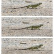 Stock Photo: Green Iguan(Iguaniguana) walking