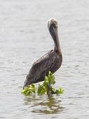 Brown pelican (Pelecanus occidentalis) — Stock Photo