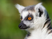 Close-up of a ring-tailed lemur — Fotografia Stock