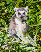 Ring-tailed lemur (Lemur catta) — Стоковое фото