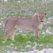 Stockfoto: Lioness walking on plains of Etosha