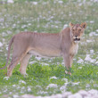 Foto Stock: Lioness walking on plains of Etosha