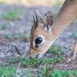 Kirk Dik-dik (Madoqua kirkii) — Stock Photo