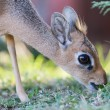 Stock Photo: Kirk Dik-dik (Madoqukirkii)