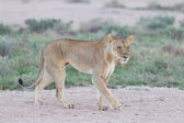 Lioness walking on the plains of Etosha — Stock Photo