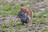 Ground squirrel — Stockfoto