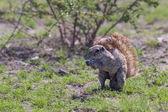 Ground squirrel — Stock Photo