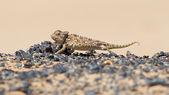 Namaqua Chameleon hunting in the Namib desert — Stock Photo