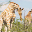 Giraffe in Etosha, Namibia — Stock Photo #38706577
