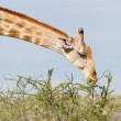 Giraffe in Etosha, Namibia — Stock Photo #38706601